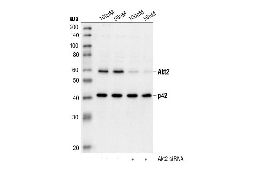 Western blot analysis of extracts from HeLa cells transfected with non-targeted (-) or Akt2 (+) siRNA. Akt2 was detected using Akt2 Antibody #2962, and p42 was detected using p42 MAPK Antibody #9108. The Akt2 Antibody confirms silencing of Akt2 expression, and the p42 MAPK Antibody is used to control for loading and specificity of the Akt2 siRNA.