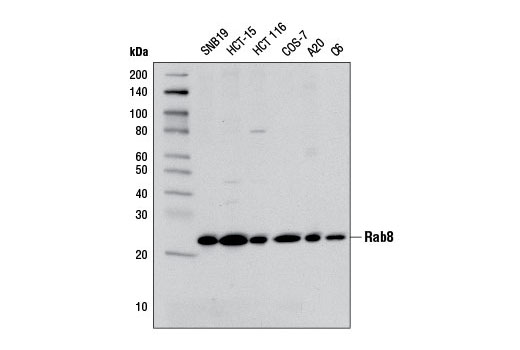 Rat Rab Gtpase Binding