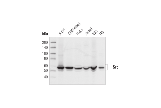 Western blot analysis of cell extracts from various cell lines, using Src (32G6) Rabbit mAb.