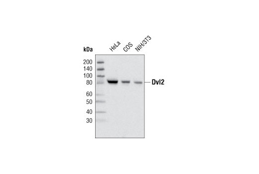 Western blot analysis of total cell lysates from various cell lines using Dvl2 (30D2) Rabbit mAb.