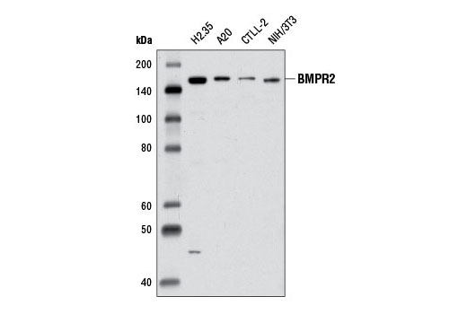 Western blot analysis of extracts from various cell lines using BMPR2 Antibody.