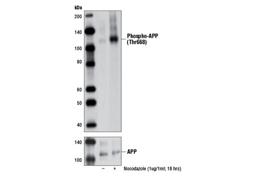 Western blot analysis of extracts from HeLa cells, untreated or nocodazole-treated (1 μg/ml, 18 hr) using Phospho-APP (Thr668) (D90B8) Rabbit mAb (upper) or APP Antibody #2452 (lower).