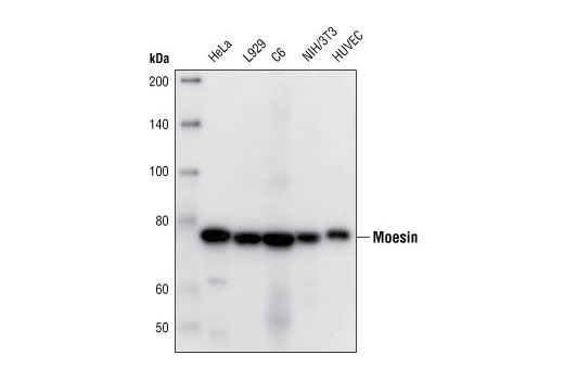 Western blot analysis of extracts from various cells lines, using Moesin (Q480) Antibody.