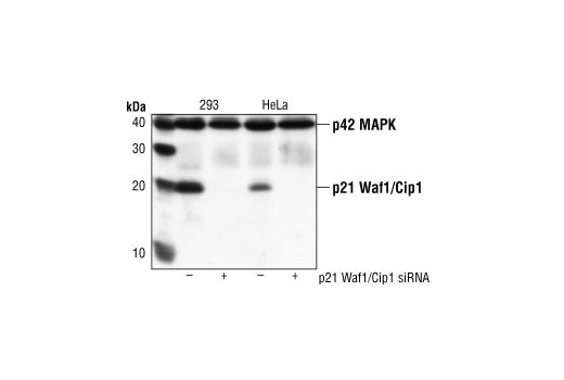 Western blot analysis of extracts from 293 and Hela cells, transfected with control (-) or p21 Waf1/Cip1 (+) siRNA. p21 Waf1/Cip1 was detected using p21 Waf1/Cip1 (DCS60) Mouse Monoclonal Antibody #2946, p42 MAPK was detected using p42 MAPK (3A7) Mouse Monoclonal Antibody #9107. The p21 Waf1/Cip1 monoclonal antibody confirms silencing of p21 expression, and the p42 monoclonal antibody is used to control for loading and specificity of p21 Waf1/Cip1 siRNA.