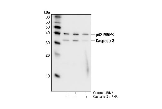 Western blot analysis of extracts from HeLa cells 48 hours following mock transfection, transfection with non-targeted (control) siRNA or transfection with Caspase-3 siRNA (100 nM).  Caspase-3  was detected using Caspase-3 Rabbit Monoclonal Antibody #9665, and p42 MAPK was detected using p42 MAPK Antibody #9108.