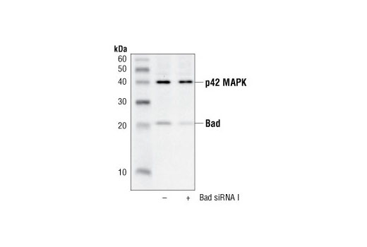 SignalSilence® Bad siRNA I - Transfection, UniProt ID Q92934, Entrez ID 572 #6471 - #6471