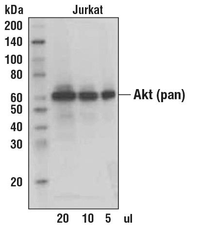 Secondary Antibody Western Blotting Biotin For Secondary Abs