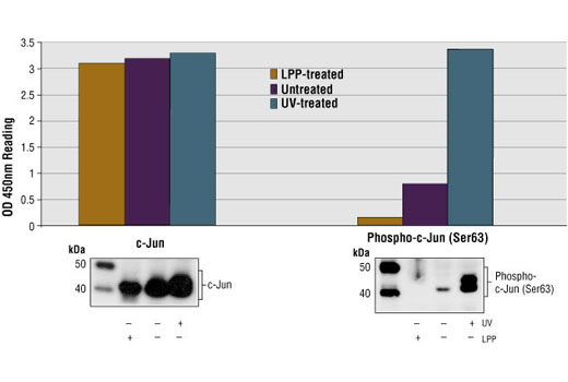 Figure 1: Treatment of 293 cells with UV stimulates phosphorylation of c-Jun at Ser63, detected by PathScan® Phospho-c-Jun (Ser63) Sandwich ELISA Kit II #7145, but does not affect the level of total c-Jun protein detected by PathScan® Total c-Jun Sandwich ELISA Kit II #7150. Lambda protein phosphatase (LPP) treatment of control cell lysates (37ºC for 90 minutes) abolished the basal phosphorylation of c-Jun in control lysates shown in both Sandwich ELISA and Western analysis. The OD450 readings are shown in the top figure, while the corresponding Western blot, using Phospho-c-Jun (Ser63) Rabbit mAb #2378 (right panel) or c-Jun Rabbit mAb (6H5) #2374 (left panel), is shown in the bottom figure.