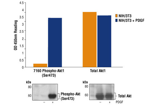 Figure 2: Treated and untreated NIH/3T3 lysates are assayed on #7160 Phospho-Akt1 (Ser 473) and #7170, Total Akt1 Sandwich ELISA kits. Total Akt1 levels can be detected in both treated and untreated lysates. Phospho-Akt1 (Ser 473) is detected only in the PDGF treated cells. The corresponding Western blots probing with #4058 and #9272 are shown in the bottom figure.