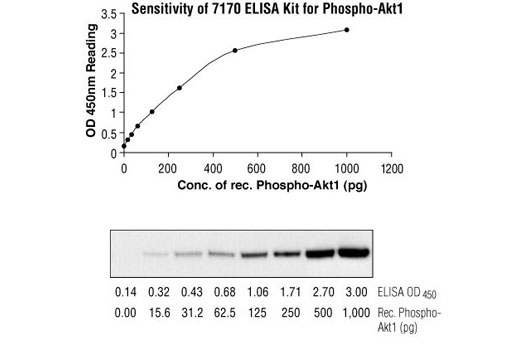 Figure 2: Comparison of sensitivity between sandwich ELISA and Western blot in the detection of recombinant phospho-Akt1 protein, using Akt Antibody #9272. The top figure indicates that, at 0-500 pg of protein, the concentration of phospho-Akt1 is linearly proportional to the OD450 reading from the Sandwich ELISA kit.