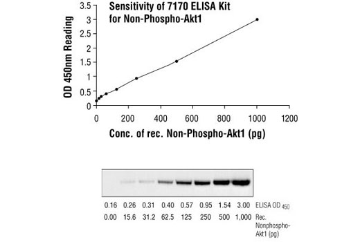 Figure 3: Comparison of sensitivity between sandwich ELISA and Western blot in the detection of recombinant nonphospho-Akt1 protein, using Akt Antibody #9272. The top figure indicates that, at 0-1,000 pg of protein, the concentration of nonphospho-Akt1 is linearly proportional to the OD450 reading from the Sandwich ELISA kit.