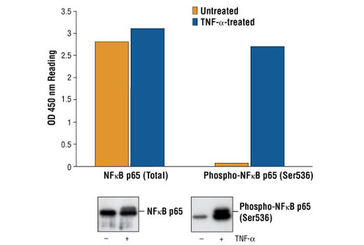 Figure 1: Treatment of HeLa cells with TNF-alpha stimulates phosphorylation of NF-KappaB p65 at Ser536, detected by PathScanTM Phospho-NF-KappaB p65 (Ser536) Sandwich ELISA kit #7173, but does not affect the level of total NF-KappaB p65 detected by PathScanTM Total NF-KappaB p65 Sandwich ELISA kit #7174. OD 450 readings are shown in the top figure, while the corresponding Western blot using Phospho-NF-KappaB p65 (Ser536) (93H1) Rabbit mAb #3034 (right panel) or NF-KappaB p65 Antibody #3033 (left panel), is shown in the bottom figure.