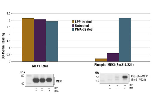 Figure 1: Treatment of NIH/3T3 cells with PMA stimulates phosphorylation of MEK1 at Ser217/221, detected by PathScan® Phospho-MEK1 (Ser217/221) Sandwich ELISA kit #7175, but does not affect the level of total MEK1 protein detected by PathScan® Total MEK1 Sandwich ELISA kit #7165. Lambda protein phosphatase (LPP) treatment of control cell lysates (37ºC for 90 minutes) abolished the basal phosphorylation of MEK1 in control lysates shown in both Sandwich ELISA and Western analysis. The OD450 readings are shown in the top figure, while the corresponding Western blot, using Phospho-MEK1/2 (Ser217/221) Antibody #9121 (right panel) or MEK1 Mouse mAb #2352 (left panel), is shown in the bottom figure.