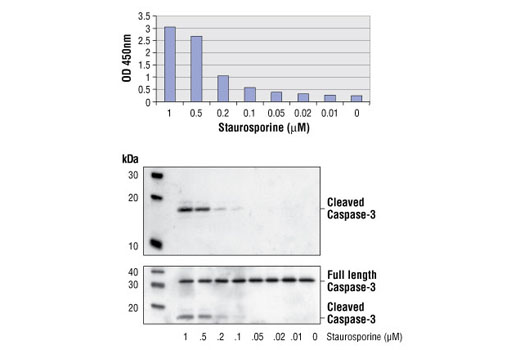 Figure 1: Treatment of HeLa cells with staurosporine stimulates cleavage of caspase-3 protein, detected by PathScan® Cleaved Caspase-3 (Asp175) Sandwich ELISA Kit #7190 (top figure), but does not affect the level of total caspase-3 protein detected by western blot (bottom figure), using Cleaved Caspase-3 (Asp175) Antibody #9661 (upper panel) or Caspase-3 Antibody #9662 (lower panel).