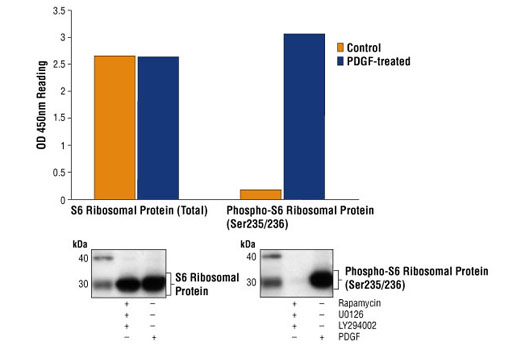 Figure 1: Treatment of NIH/3T3 cells with PDGF stimulates phosphorylation of S6 ribosomal protein at Ser235/236, detected by PathScan® Phospho-S6 Ribosomal Protein (Ser235/236) Sandwich ELISA Kit #7205, but does not affect the level of total S6 ribosomal protein detected by PathScan® Total S6 Ribosomal Protein Sandwich ELISA Kit #7225. A combination of rapamycin, a FRAP/mTOR inhibitor, U0126, a MEK1/2 inhibitor, and LY294002, a PI3 Kinase inhibitor, can totally suppress the phosphorylation of S6 ribosomal protein in cells. Triple inhibitor-treatment (37ºC for 120 min after starvation) represents the nonphosphorylated form of S6 ribosomal protein whereas PDGF-treated cells represent the phosphorylated form as shown in both Sandwich ELISA and Western analysis (upper/bottom, right). OD450 readings are shown in the top figure, while the corresponding Western blot, using Phospho-S6 Ribosomal Protein (Ser235/236) Ab #2211 (right panel) or S6 Ribosomal Protein Antibody #2212 (left panel), is shown in the bottom figure.