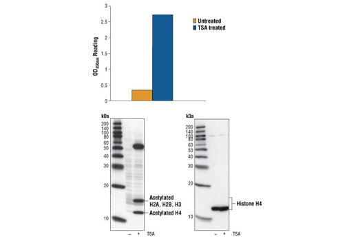 Figure 1: Treatment of Jurkat cells with TSA causes accumulation of acetylation on Histone H4, detected by Sandwich ELISA Kit #7238, but does not affect the level of total Histone H4 protein, detected by Western analysis. OD450nm readings are shown in the top figure, while the corresponding Western blot using the Acetylated Lysine mouse mAb (Ac-K-103) #9681 (left panel) or Histone H4 Antibody #2592 (right panel), is shown in the bottom figure.