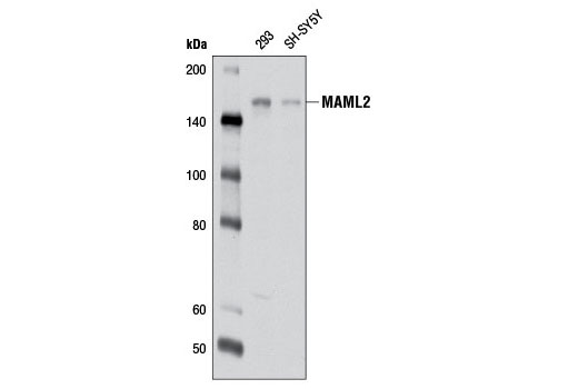 Western blot analysis of extracts from 293 and SH-SY5Y cells using MAML2 (D41E6) Rabbit mAb.