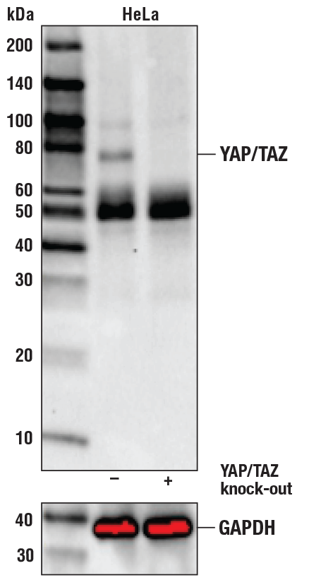 Western blot analysis of HeLa Cell Extracts, untreated (-) or YAP/TAZ knock-out (+) using YAP/TAZ (D24E4) Rabbit mAb#8418 (upper) or GAPDH (D16H11) XP®Rabbit mAb#5174 (lower).