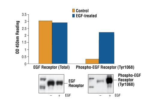 Figure 1: Treatment of A431 cells with EGF stimulates phosphorylation of EGF Receptor at Tyr1068, detected by PathScan® Phospho-EGF Receptor (Tyr1068) Sandwich ELISA kit #7240, but does not affect the level of total EGF Receptor detected by PathScan® Total EGF Receptor Sandwich ELISA kit #7250. OD 450 nm readings are shown in the top figure, while the corresponding Western blot using Phospho-EGF Receptor (Tyr1068) Antibody #2234 (right panel) or EGF Receptor Antibody #2232 (left panel), is shown in the bottom figure.