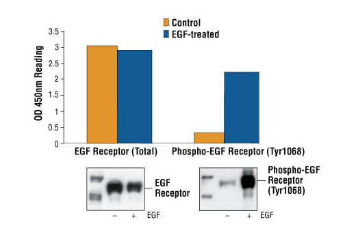 Figure 1: Treatment of A431 cells with EGF stimulates phosphorylation of EGF Receptor at Tyr1068, detected by PathScan® Phospho-EGF Receptor (Tyr1068) Sandwich ELISA kit #7240, but does not affect the level of total EGF Receptor detected by PathScan® Total EGF Receptor Sandwich ELISA kit #7250. OD 450nm readings are shown in the top figure, while the corresponding western blot using Phospho-EGF Receptor (Tyr1068) Antibody #2234 (right panel) or EGF Receptor Antibody #2232 (left panel), is shown in the bottom figure.