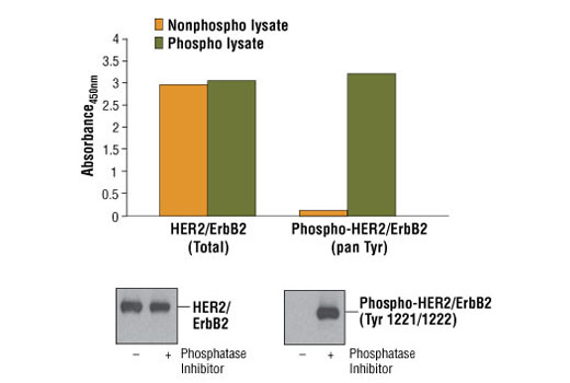 Figure 1: Constitutive phosphorylation of HER2/ErbB2 in Calu-3 cells lysed in the presence of phosphatase inhibitors* (phospho lysate) is detected by PathScan<sup>®</sup> Phospho-HER2/ErbB2 (panTyr) Sandwich ELISA Kit #7968 (top, right). In contrast, a low level of phospho-HER2/ErbB2 protein is detected in Calu-3 cells lysed in the absence of phosphatase inhibitors* (nonphospho lysate). Similar levels of total HER2/ErbB2 protein from both nonphospho or phospho lysates are detected by PathScan<sup>®</sup> Total HER2/ErbB2 Sandwich ELISA Kit #7310 (top, left). Absorbance at 450 nm is shown in the top figure while corresponding western blots using Phospho-HER2/ErbB2 (Tyr1221/1222) Rabbit mAb #2243 (right) or a total HER2/ErbB2 Antibody #2242 (left) are shown in the bottom figure. *Phosphatase inhibitors include sodium pyrophosphate, β-glycerophosphate and Na<sub>3</sub>VO<sub>4</sub>.