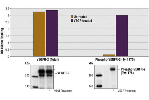 Figure 1: Treatment of HUVE cells with VEGF stimulates phosphorylation of VEGFR-2 at Tyr1175, detected by PathScan® Phospho-VEGFR-2 (Tyr1175) Sandwich ELISA kit, #7335, but does not affect the level of total VEGFR-2 protein detected by PathScan® Total VEGFR-2 Sandwich ELISA kit, #7340. OD450 readings are shown in the top figure, while the corresponding western blot using Phospho-VEGFR-2 (Tyr1175) Rabbit mAb #2478 (right panel) or VEGFR-2 Rabbit mAb (7340-55B11) (left panel), is shown in the bottom figure.