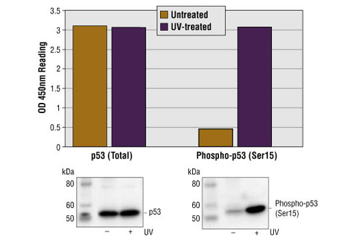 Figure 1: Treatment of HT-29 cells with UV stimulates phosphorylation of p53 at Ser15, detected by PathScan® Phospho-p53 (Ser15) Sandwich ELISA kit, #7365, but does not affect the level of total p53 protein detected by PathScan® Total p53 Sandwich ELISA kit, #7370. OD450 readings are shown in the top figure, while the corresponding Western blot using Phospho-p53 (Ser15) Mouse mAb #9286 (right panel) or p53 Mouse mAb #2524 (left panel), is shown in the bottom figure.