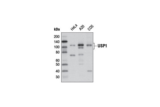 Western blot analysis of extracts from HeLa, A20 and COS cells using USP1 (D37B4) Rabbit mAb.