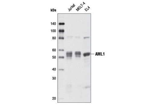 Western Blotting Image 1: AML1 Antibody (Mouse Preferred)