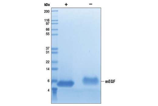 The purity of recombinant mEGF was determined by SDS-PAGE of 6 µg reduced (+) and non-reduced (-) recombinant mEGF and staining overnight with Coomassie Blue.