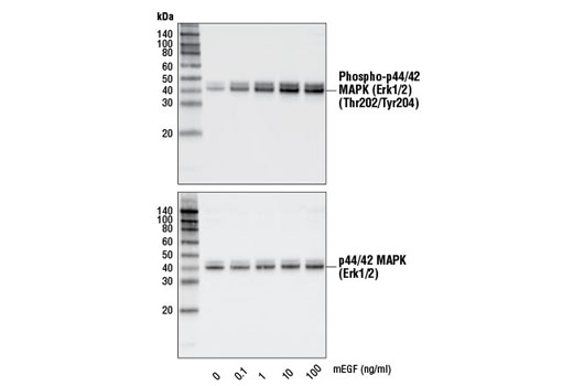 Western blot analysis of extracts from NIH/3T3 cells, untreated or treated with mEGF for 10 minutes, using Phospho-p44/42 MAPK (Erk1/2) (Thr202/Tyr204) (D13.14.4E) XP<sup>® </sup>Rabbit mAb #4370 (upper) or p44/42 MAPK (Erk1/2) (137F5) Rabbit mAb #4695 (lower).