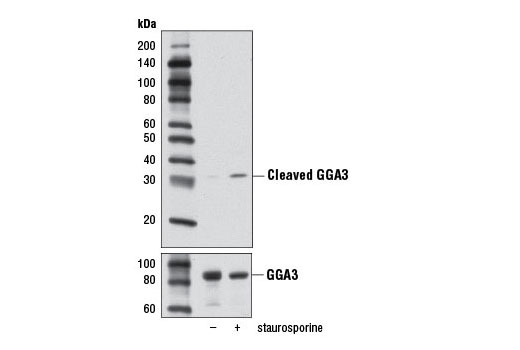 Monoclonal Antibody Western Blotting Adp-Ribosylation Factor Binding - count 3