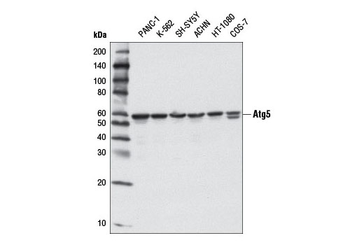 Western blot analysis of extracts from various cell lines using Atg5 (D5G3) Rabbit mAb.