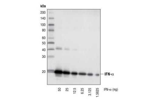Monoclonal Antibody Serine Phosphorylation of Stat Protein