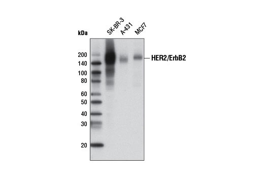 Monoclonal Antibody - HER2/ErbB2 (D8F12) XP® Rabbit mAb (Biotinylated), UniProt ID P04626, Entrez ID 2064 #8609, Cd Markers