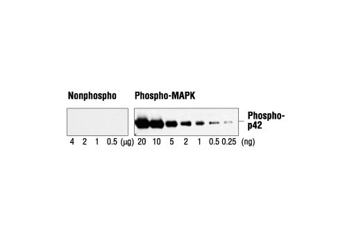Specificity and sensitivity of Phospho-p44/42 MAPK (Erk1/2) (Thr202/Tyr204) Antibody. The antibody reacts specifically with as little as 0.25 ng of phosphorylated p42 MAP kinase and does not cross-react with up to 4 µg of nonphosphorylated p42 MAP kinase.
