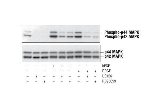 Western blot analysis of whole-cell extracts from unstarved wild-type mouse embryonic fibroblasts (MEFs) treated with the indicated combinations of basic Fibroblast Growth Factor (bFGF #9952, 100 ng/ml for 30 minutes), Platelet-Derived Growth Factor (PDGF #9909, 100 ng/ml for 30 minutes), MEK1 Inhibitor (PD98059 #9900, 50 µM, 2 hour pre-treatment), and MEK1/2 Inhibitor (U0126 #9903, 10 µM, 2 hour pre-treatment), using Phospho-p44/42 MAPK (Erk1/2) (Thr202/Tyr204) Antibody #9101 (upper panel) and p44/42 MAPK (Erk1/2) (137F5) Rabbit mAb #4695 (lower panel).