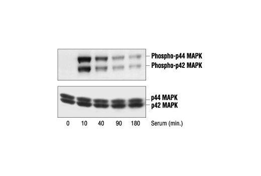 Western blot analysis of extracts from serum-induced PC12 cells, using Phospho-p44/42 MAPK (Erk1/2) (Thr202/Tyr204) Antibody #9101 (upper) or control p44/42 MAPK (Erk1/2) Antibody (lower).