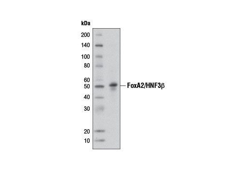 Monoclonal Antibody - FoxA2/HNF3β (D56D6) XP® Rabbit mAb, UniProt ID Q9Y261, Entrez ID 3170 #8186 - Primary Antibodies