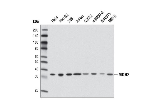 Polyclonal Antibody Western Blotting L-Malate Dehydrogenase Activity