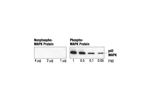 Specificity and sensitivity of the Phospho-p44/42 MAPK (Erk1/2) (Thr202/Tyr204) (E10) Mouse mAb: This antibody reacts specifically with as little as 50 pg of phosphorylated MAP kinase and does not cross-react with up to 4 µg of nonphosphorylated MAP kinase by Western blotting.