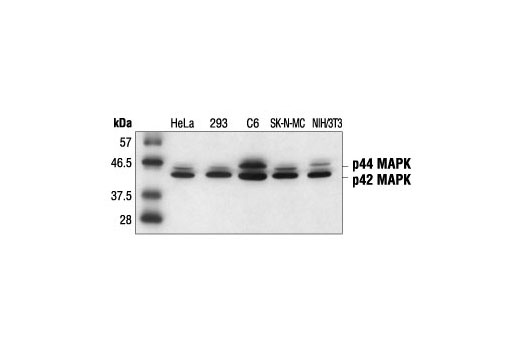 Western blot analysis of extracts from various cells, using p44/42 MAPK (Erk1/2) (3A7) Mouse mAb.