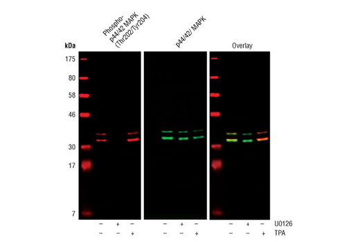 Western blot analysis of extracts from COS cells, untreated or treated with either U0126 #9903 (10 µM for 1h) or TPA #9905 (200 nM for 10 m), using Phospho-p44/42 MAPK (Erk1/2) (Thr202/Tyr204) (D13.14.4E) Rabbit mAb #4370 and p44/42 MAPK (Erk1/2) (3A7) Mouse mAb #9107.