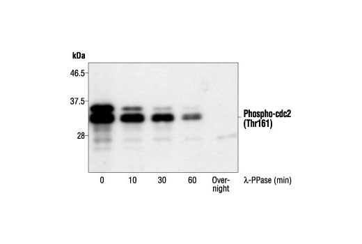 Rat g2m Transition Dna Damage Checkpoint