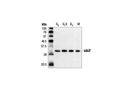 Western blot analysis of extracts from HeLa cells synchronized at various stages of the cell cycle, using cdc2 (POH1) Mouse mAb.