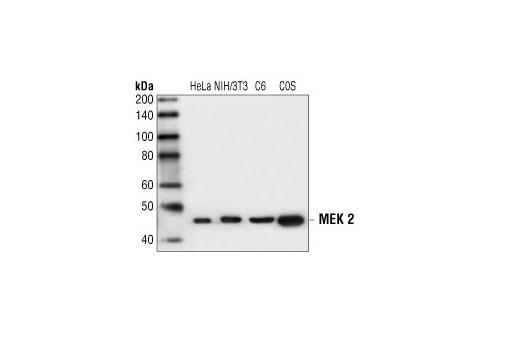 Polyclonal Antibody - MEK2 Antibody - Western Blotting, UniProt ID P36507, Entrez ID 5605 #9125 - Primary Antibodies