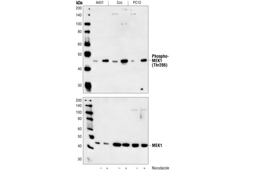 Western blot analysis of extracts from A431, COS and PC12 cells, untreated or nocodazole-treated, using Phospho-MEK1 (Thr286) Antibody (upper) or MEK1 Antibody #9124 (lower).