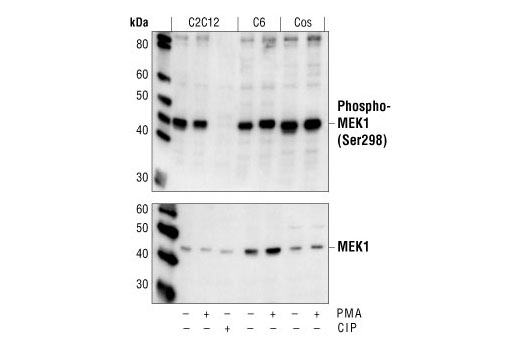 Western blot analysis of extracts from C2C12, C6 and COS cells, untreated or PMA-treated, using Phospho-MEK1 (Ser298) Antibody (upper) or MEK1 Antibody #9124 (lower). In lane 3, the C2C12 lysate was treated with alkaline phosphatase (CIP) to show the phospho-specificity of the antibody.