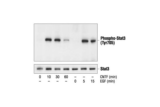 Western blot analysis of extracts from CNTF-treated SK-N-MC cells and EGF-treated A431 cells, using Phospho-Stat3 (Tyr705) Antibody (upper) or Stat3 Antibody #9132 (lower).