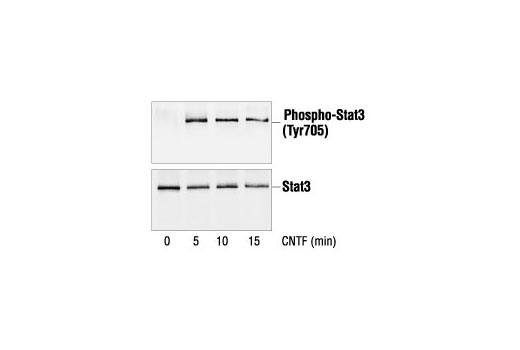 Immunoprecipitation of extracts from CNTF-treated 35S-labeled SK-N-MC cells, using Phospho-Stat3 (Tyr705) Antibody (upper) or Stat3 Antibody #9132 (lower).